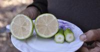 Bu biber değil limon