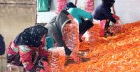 Yağışlar havuç üreticisini sevindirdi