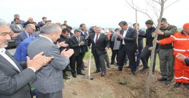 5 bin Osmanlı çınarı dikildi