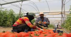 Hatay'da domates hasadı başladı