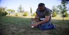"""""""Gazella gazella"""" türü dağ ceylanlarının varlığı artıyor"""