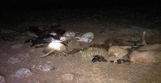 Hatay'da sudan zehirlenen 30 küçükbaş hayvan telef oldu