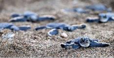 Yavru kaplumbağaların denize kavuşma savaşı