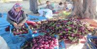 Patlıcan tarlada 25 kuruş