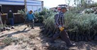 İskenderun ve Arsuz'da 15 bin zeytin fidanı toprakla buluşacak