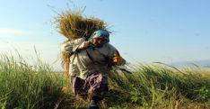 """""""Derviş pirinci""""nde hasat zamanı"""
