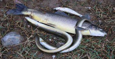 Hatay'da deredeki balıklar telef oldu